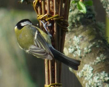 Great Tit enjoying the willow